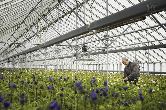 A man working in an organic plant nursery glasshouse in early spring