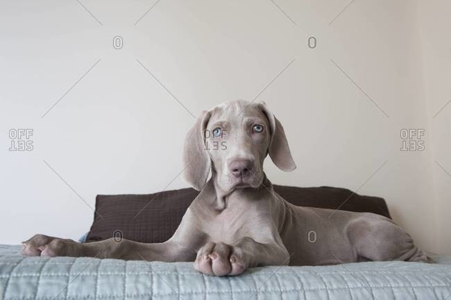 A Weimaraner puppy sitting up on a bed