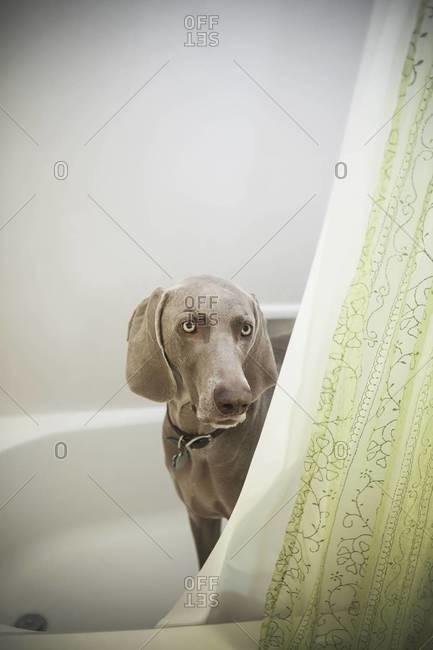 A Weimaraner puppy peering around the shower curtain in a bathroom