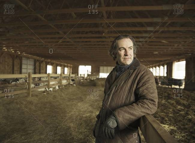 A farmer in a livestock barn with sheep at lambing time