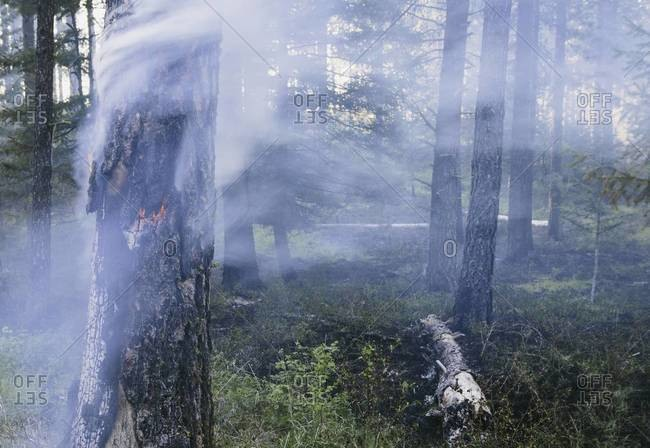 A controlled forest burn aimed at regrowth