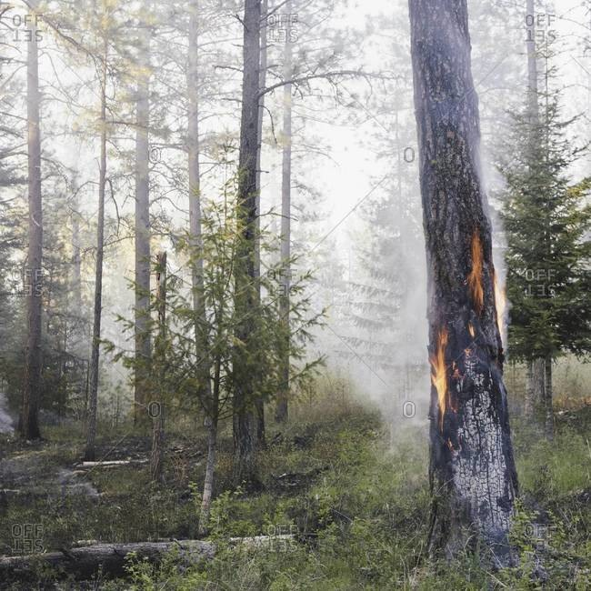 A controlled forest burn