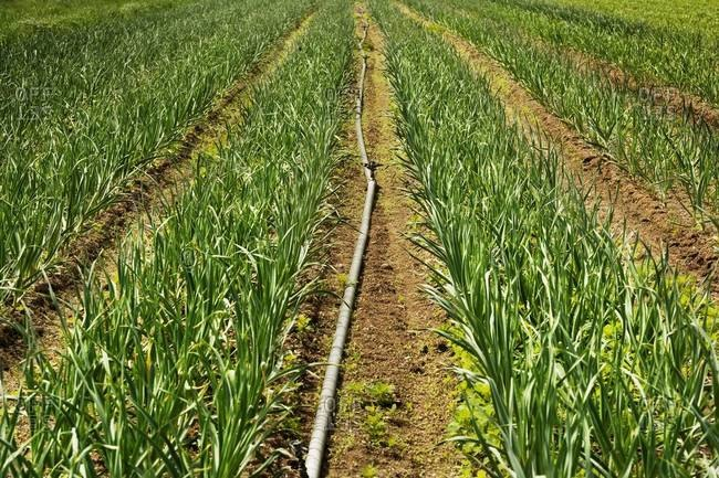 Young onion plantation and irrigation system on farm