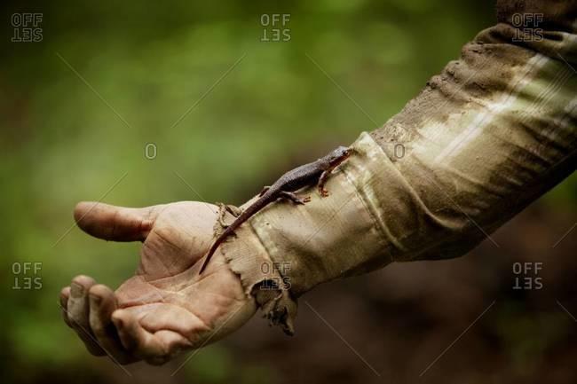 Salamander running up a man's arm