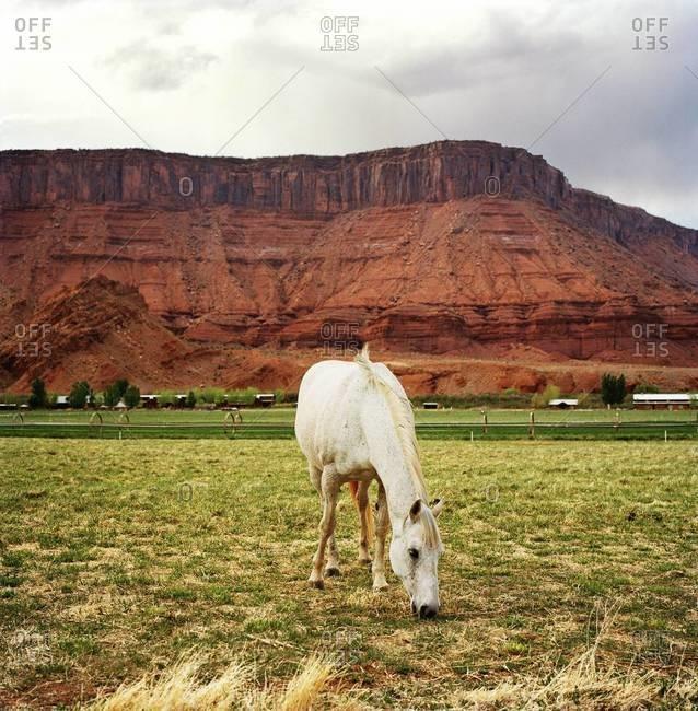 White horse grazing in fields