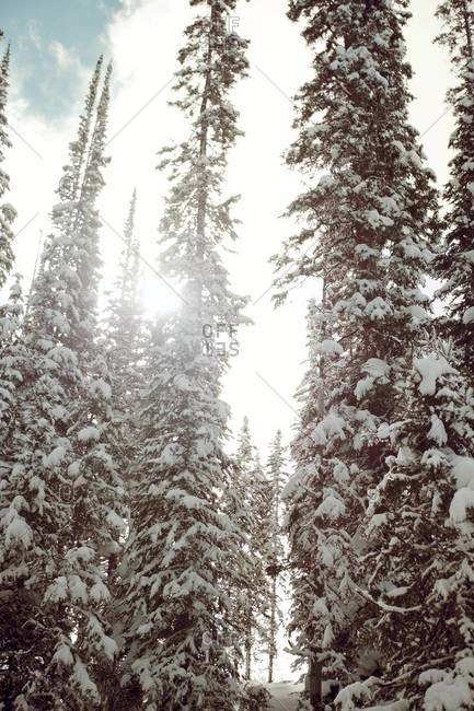 Snow covered Aspen trees in Vail, Colorado