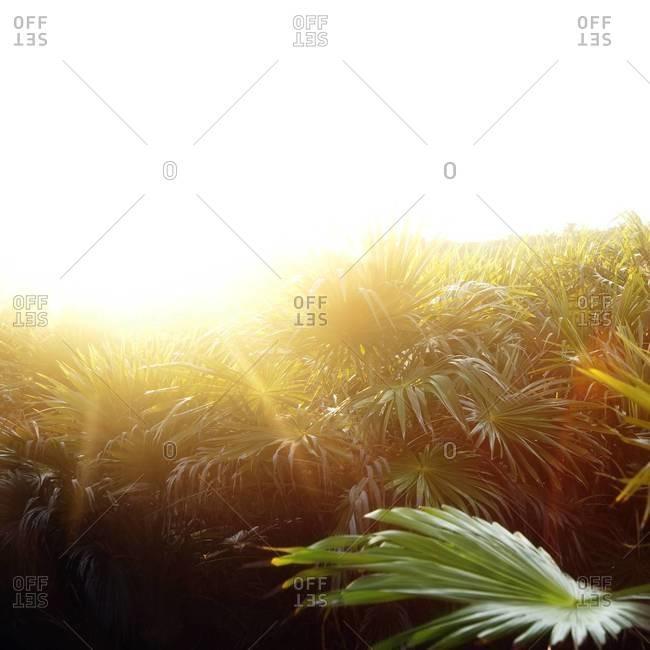 Lush field of palms