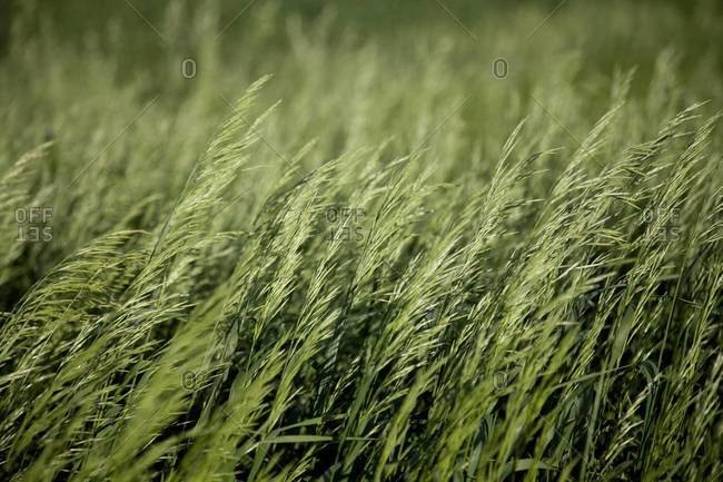 Close up of young wheat stalks