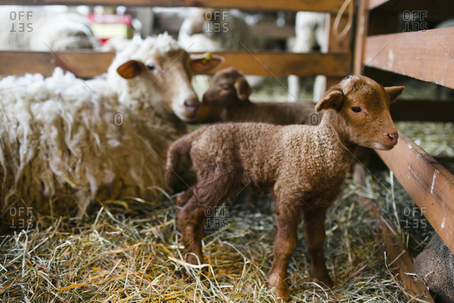 Lamb with sheep in stable