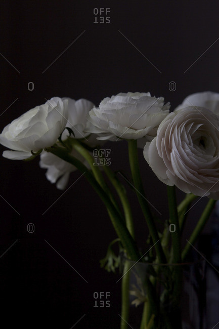 Bouquet of white Persian buttercup flowers