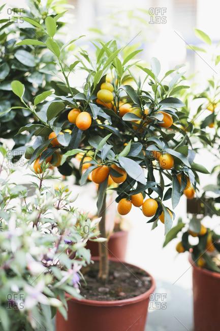 Citrus tree in a pot
