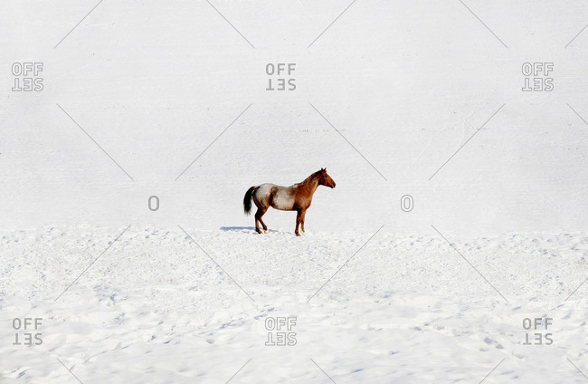 Lonely horse on a snow field