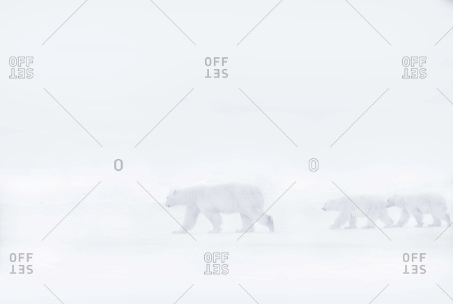 Polar bear with two cubs in a blizzard