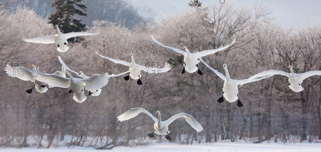 Whooper swans in flight