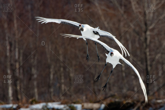 Two Japanese cranes soaring