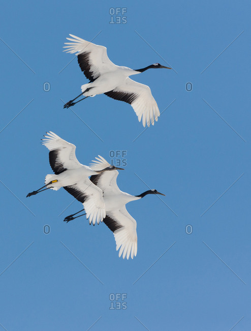 Three Japanese cranes in flight
