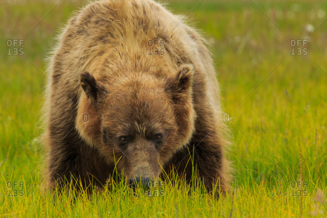 Brown bear with snout in grass