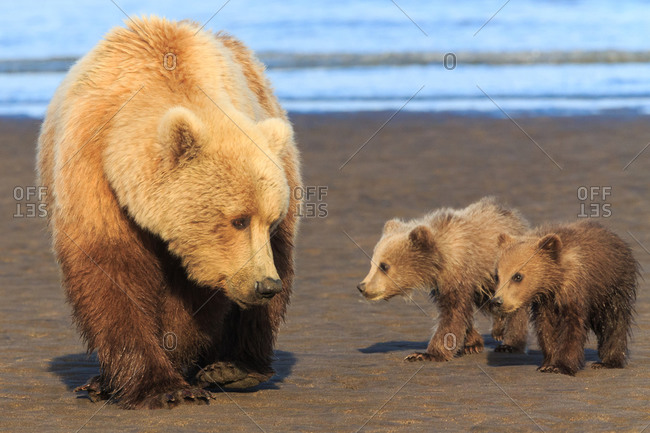 Brown bear sow and cubs by lake