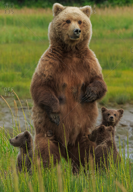 Mother bear protecting her cubs
