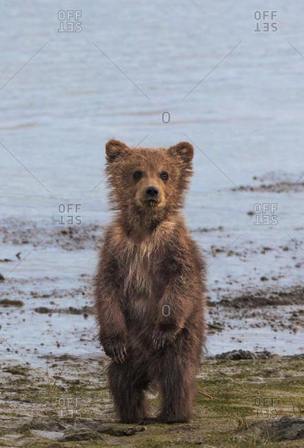 Brown bear cub on hind legs