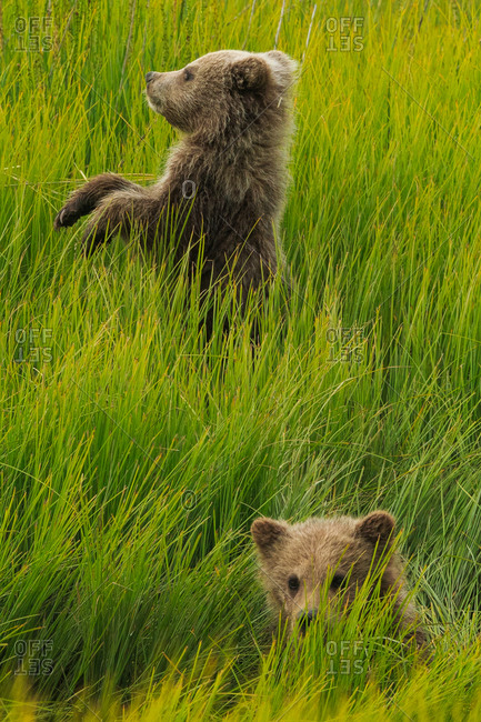 Two bear cubs in grass