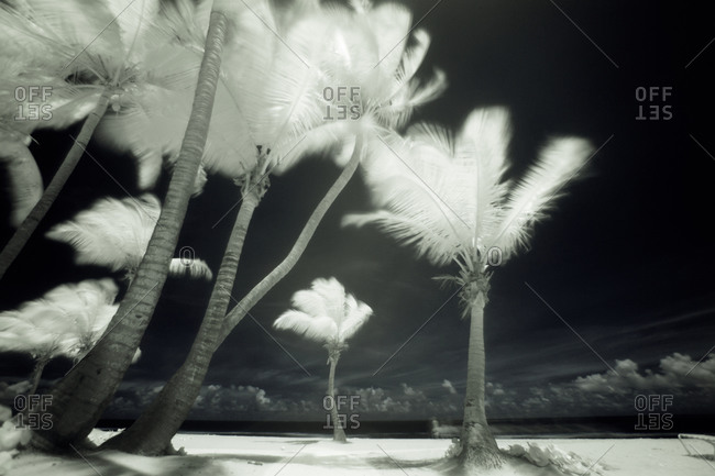 Infrared image of tall Palm trees, Puerto Rico,