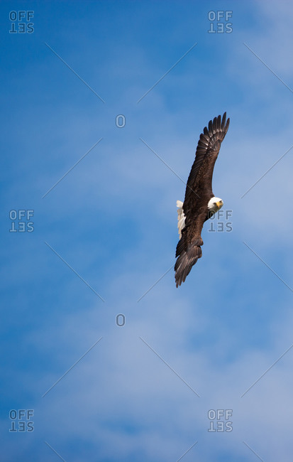 Soaring bald eagle turning