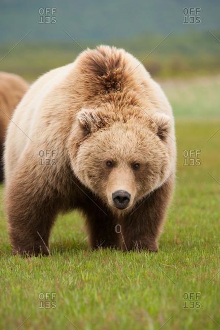 Brown bear walking forward