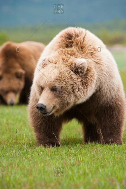 Distracted brown bear