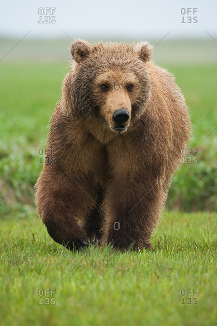 Brown bear mid step