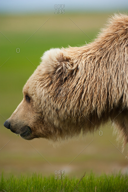 Profile of a bear's head