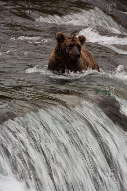 Brown bear in rushing water