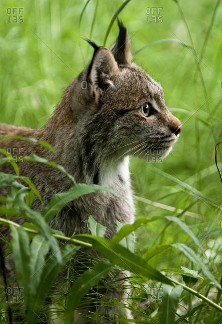 Profile of Canada Lynx
