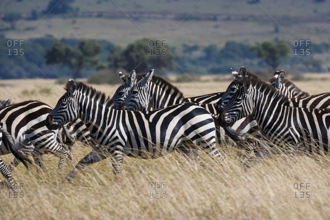 Herd of Grant's zebras