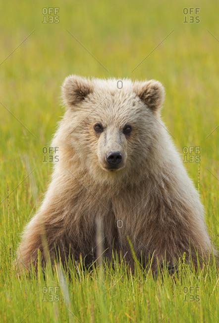Portrait of a pale brown bear