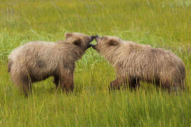 Brown bears biting at each other