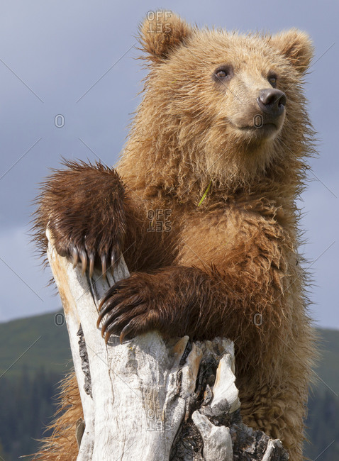Brown bear climbing a root in field