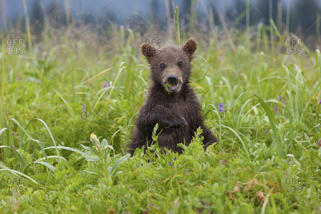 Brown bear cub with grass hanging out of his mouth