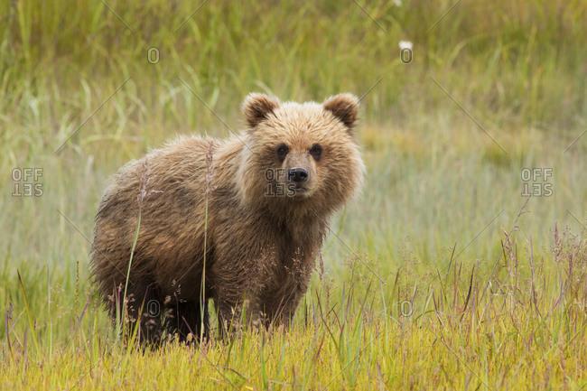 Young brown bear cub