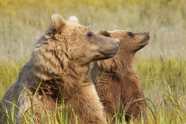 Cub mimicking his mother