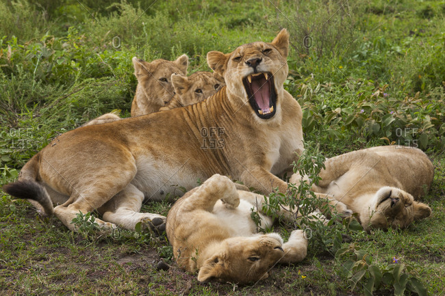 Mother lion protecting cubs