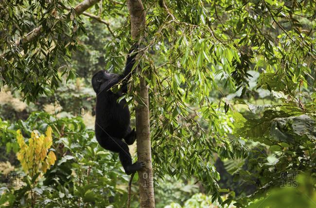 Mountain gorilla juvenile climbing tree