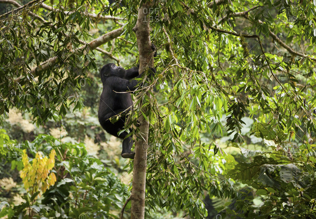 Young  gorilla climbing tree