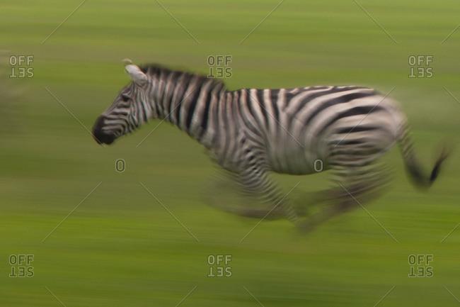 Single plains zebras galloping