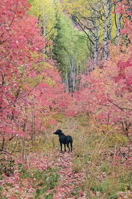 Black Labrador retriever dog in autumn woodland