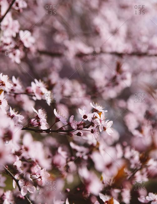 Bloom of ornamental plum tree