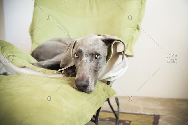 Weimaraner dog lounging on a chair