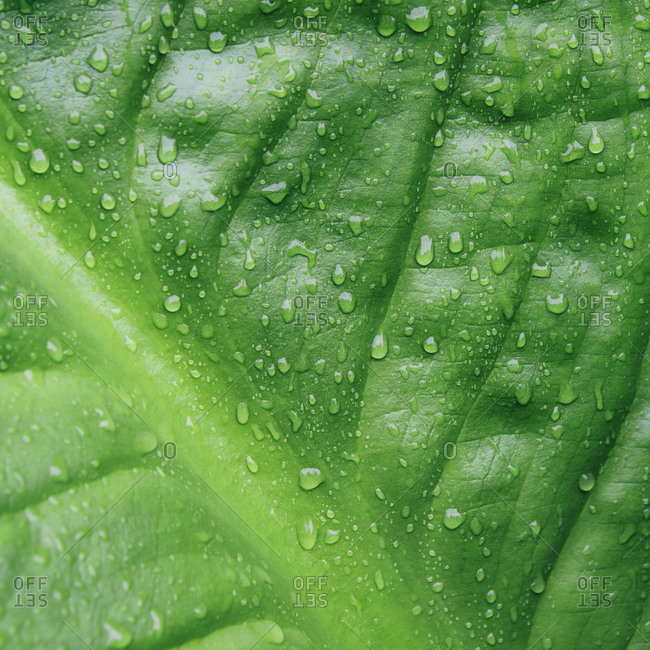Close up of droplets on skunk cabbage leaves