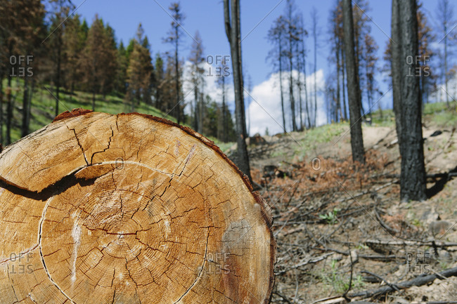 Cross section of cut Ponderosa Pine tree in recently burned forest