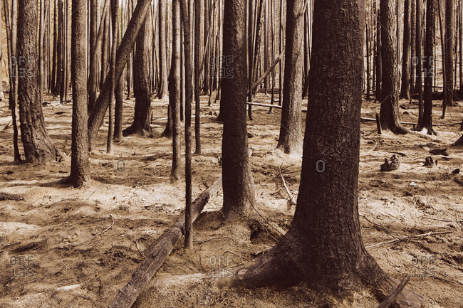 Trees in recently burned forest